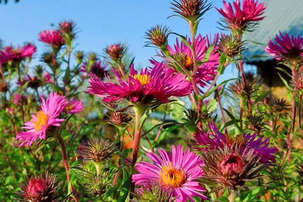 15 красивых и неприхотливых многолетников для сада