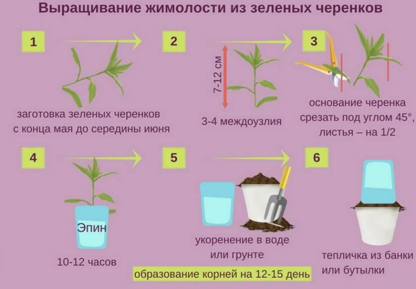 Как размножить жимолость: 4 способа, правила ухода и пересадки