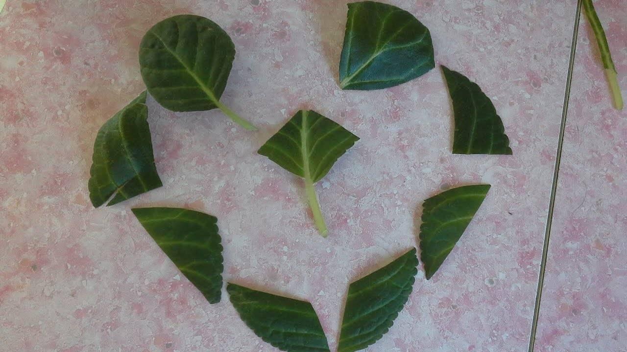 Размножение глоксинии — листом, семенами, в домашних условиях ?
