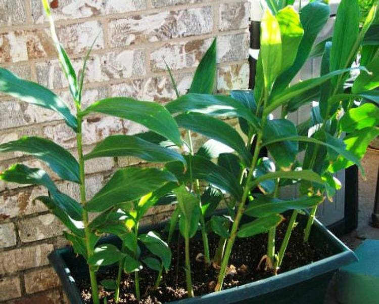 Имбирь — приправа и лекарство. способы выращивания