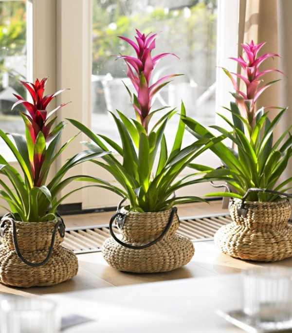 Цветок гузмания: уход в домашних условиях, размножение, фото, приметы
