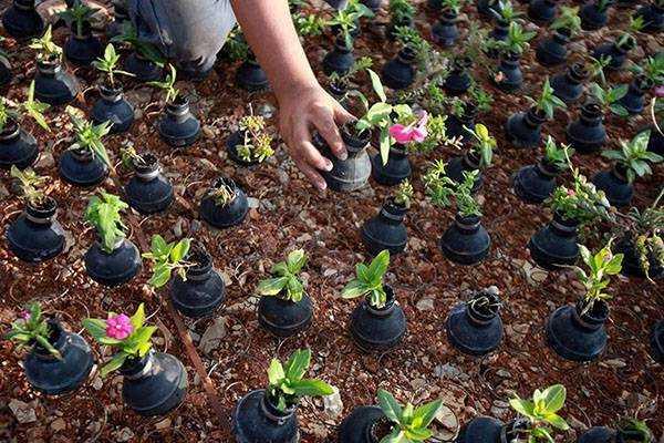 Цветок губастик или мимулюс посадка и уход в открытом грунте выращивание из семян