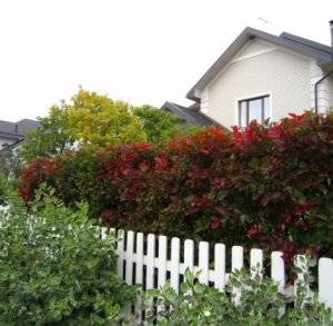 Какие своими руками растения для живой изгороди используют на даче
