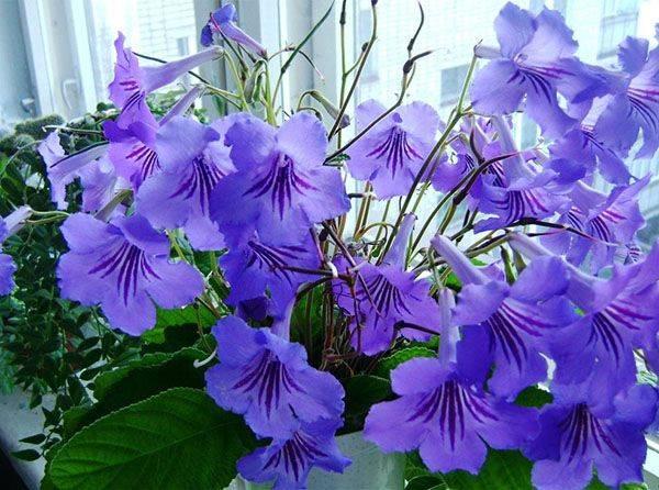 Несложный уход и выращивание стрептокарпусов дома