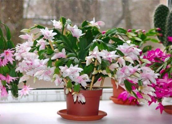 Цветы зигокактус (zigocactus): болезни, размножение или пересадка и уход на фото