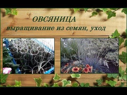 Овсяница ледниковая выращивание из семян. овсяница ледниковая синичка выращивание из семян