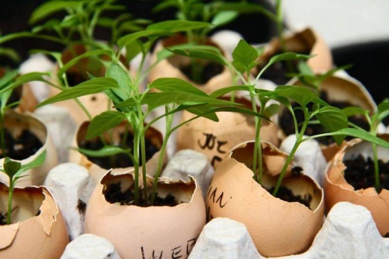 Можно ли вырастить рассаду в яичной скорлупе?