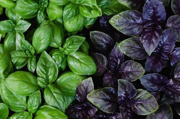 Как сажать семена базилика и ухаживать за растением