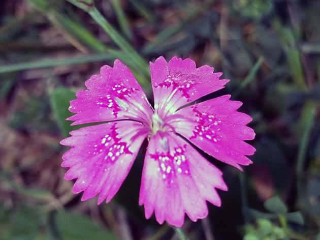 Выращивание левкоя из семян в домашних условиях: секреты цветовода