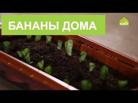 Выращивание чабера из семян в домашних условиях