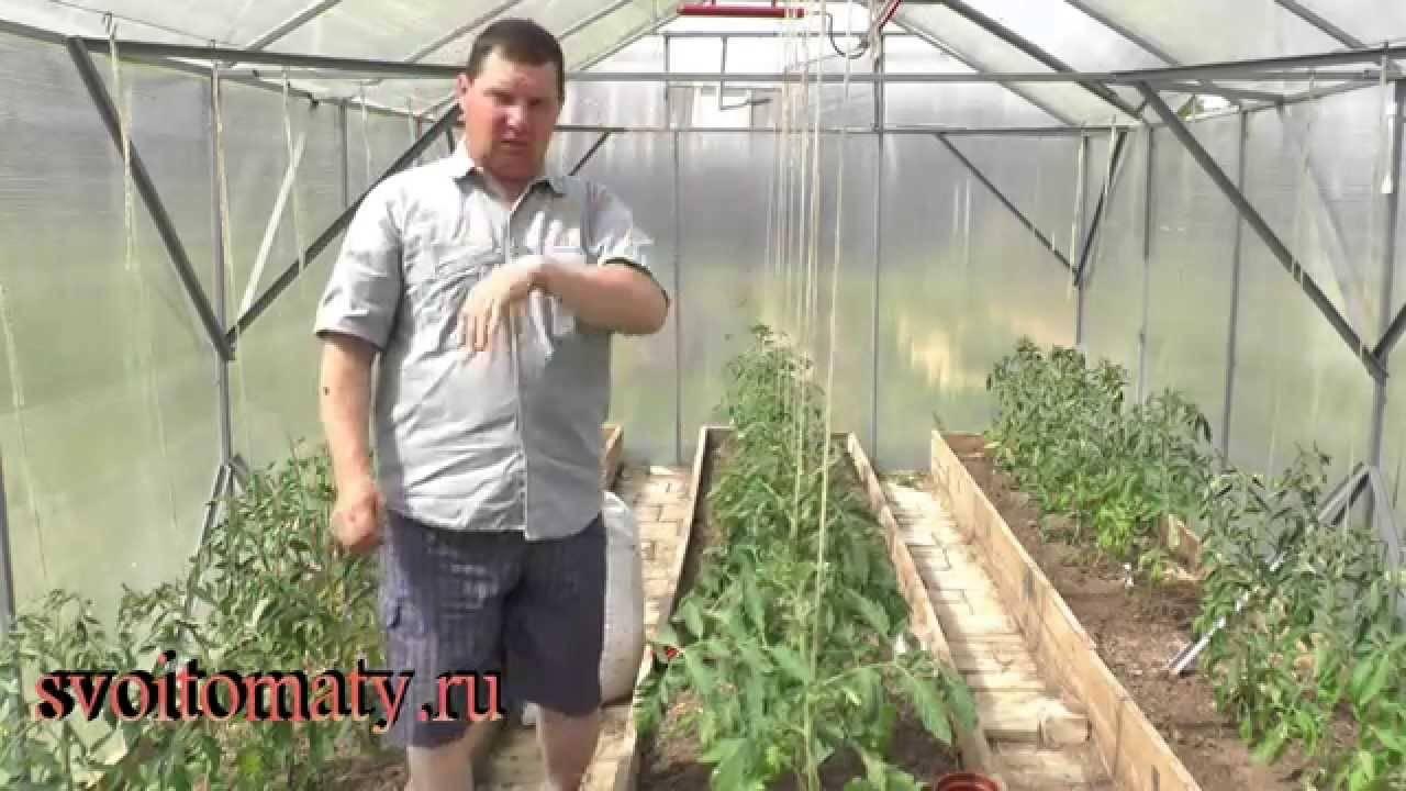 Уход за рассадой помидор после высадки в грунт