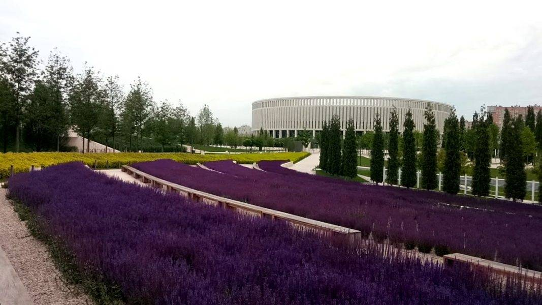 Шалфей дубравный - фото и описание цветка