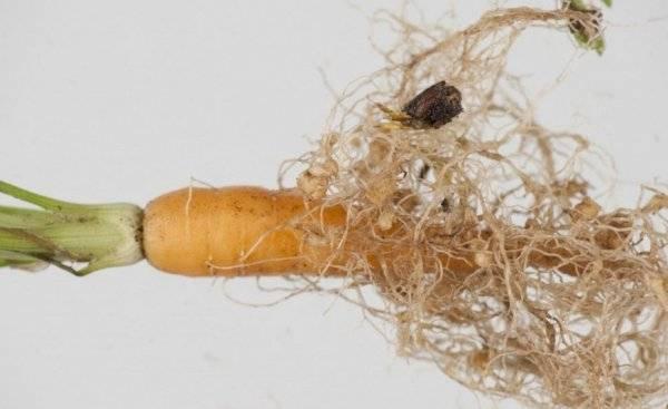 Как избавиться от хрена в огороде быстро и навсегда