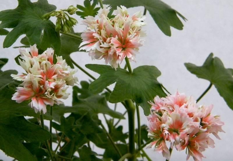 Ампельные пеларгонии (герани) и их выращивание