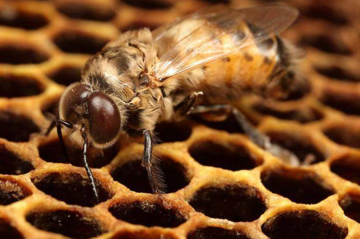Трутни в пчелиной семье, жизнь и развитие