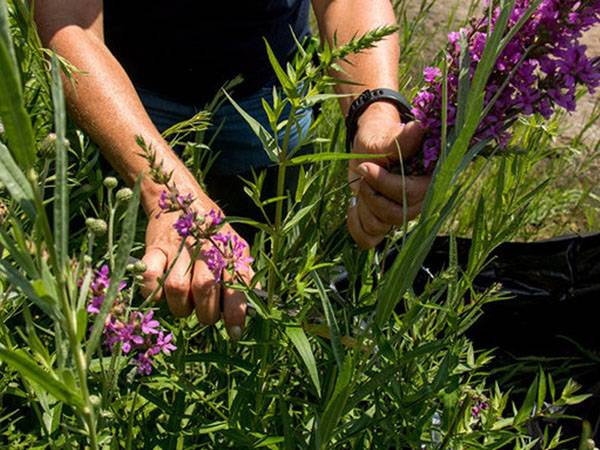 Когда и как сажать иберис на рассаду в домашних условиях