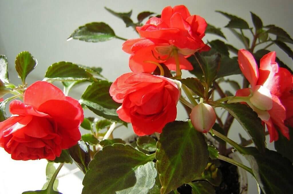Бальзамин комнатный – уход в домашних условиях. сорта, подходящие для выращивания в квартире. посадка и размножение