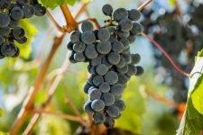 Лучшие сорта винограда для приготовления вина в россии и украине