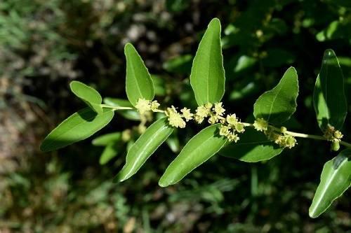Выращиваем зизифус и его полезные свойства