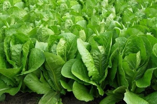 Как сеять салат - 3 проверенных способа для разных ситуаций