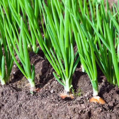 Выращиваем лук китайским способом на гребнях: поясняем по пунктам