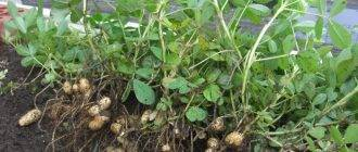 Один из самых дорогостоящих орехов – макадамия. всё о сборе урожая