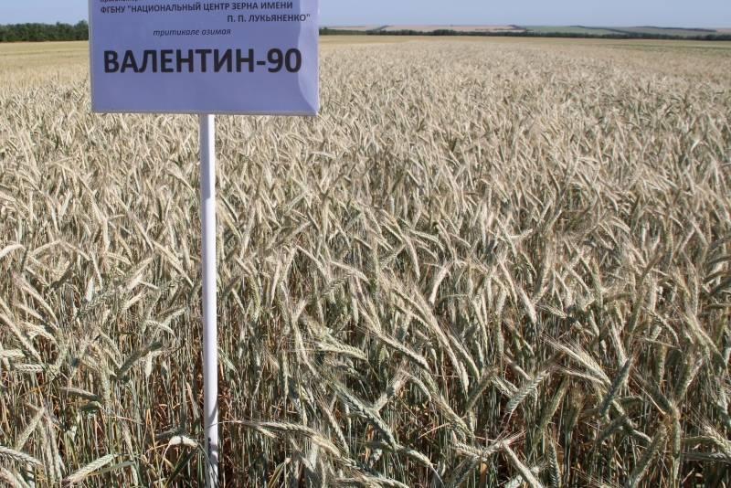 Чем отличается рожь от пшеницы? как выглядит колос и зерна пшеницы, ржи? как называется соцветие пшеницы или ржи?