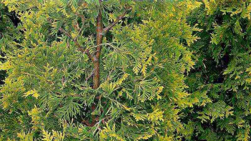 Пихта корейская: посадка, уход и размножение дерева с самыми красивыми шишками