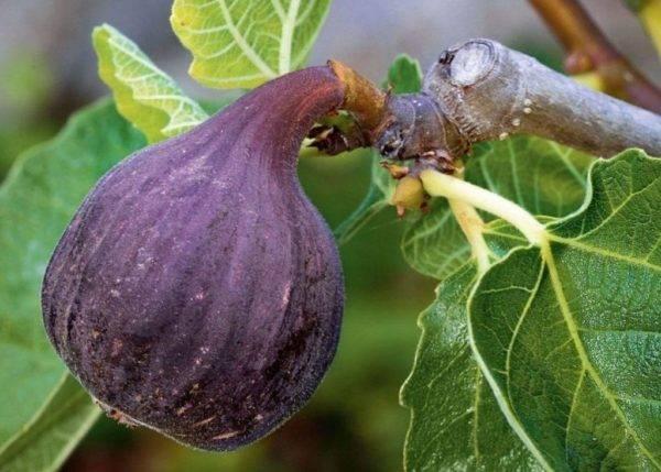 Практические советы садоводов: как вырастить инжир в домашних условиях