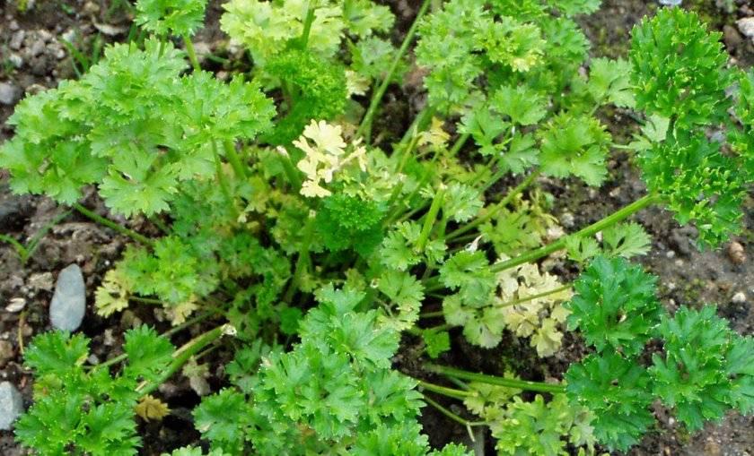 Петрушка: выращивание в открытом грунте и на подоконнике