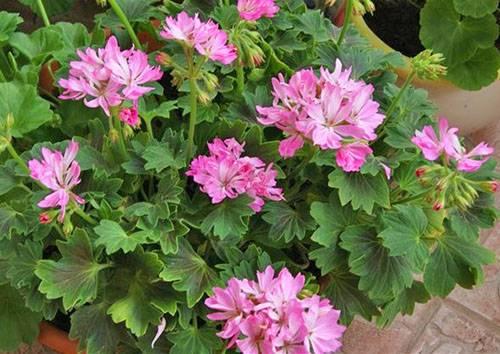 Топ-10 сотов карликовой пеларгонии для домашнего выращивания