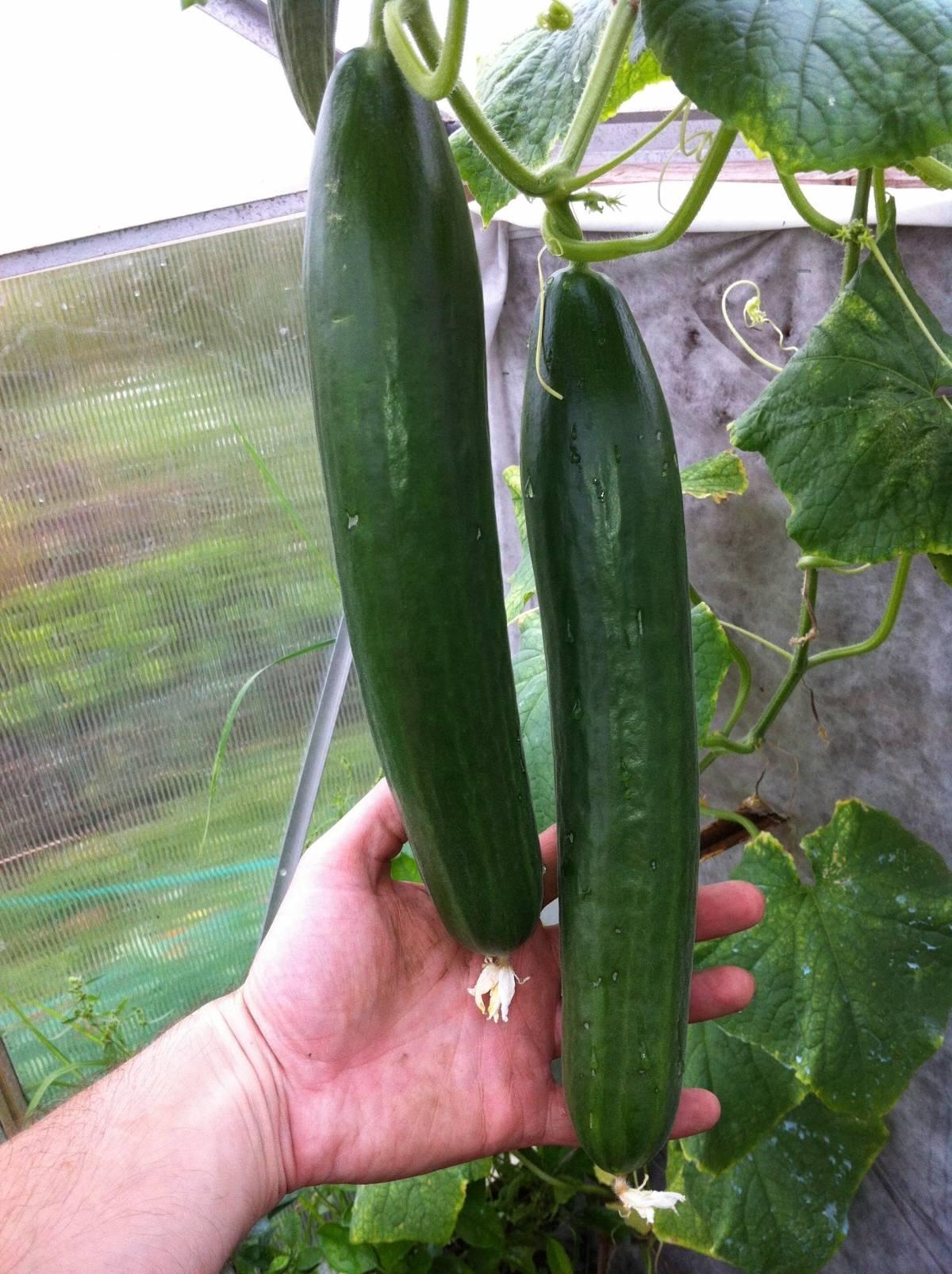 Капуста кольраби: фото, выращивание и уход в открытом грунте