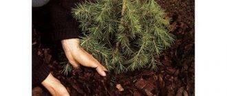 Подкормка хвойников осенью — чем обрабатывать, какие удобрения применять?
