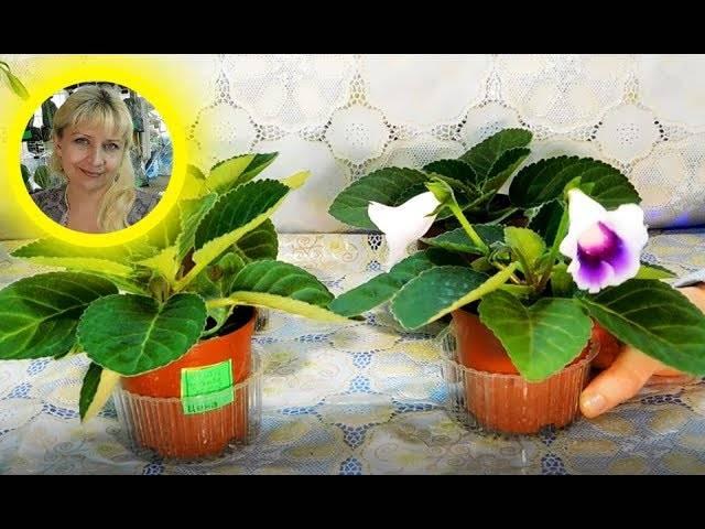 Глоксиния - тонкости выращивания из семян в домашних условиях