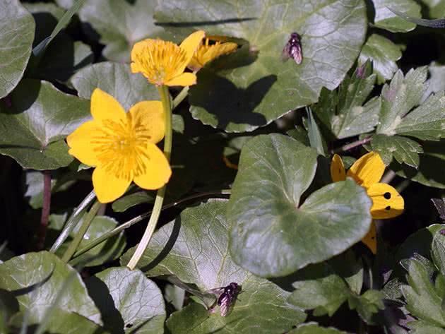 Калужница в ландшафтном дизайне – выращивание и уход