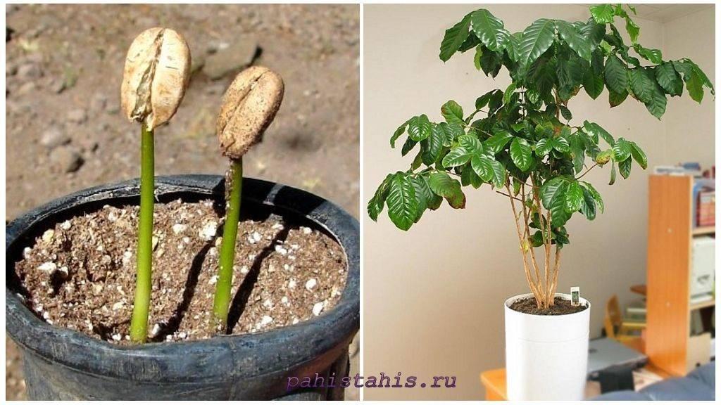 Выращиваем абутилон из семян – тонкости посева