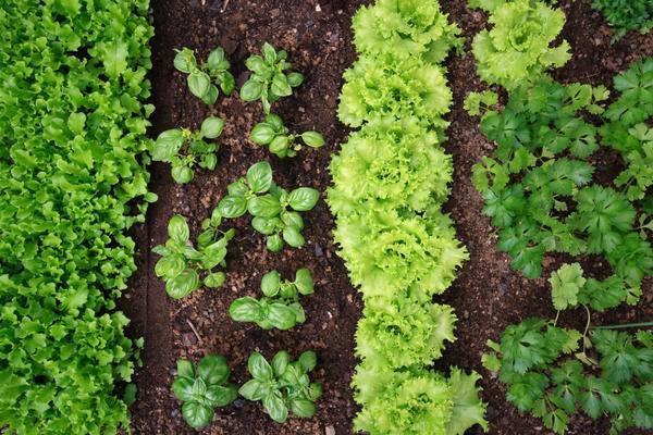 Совместимость и несовместимость растений в саду и на огороде