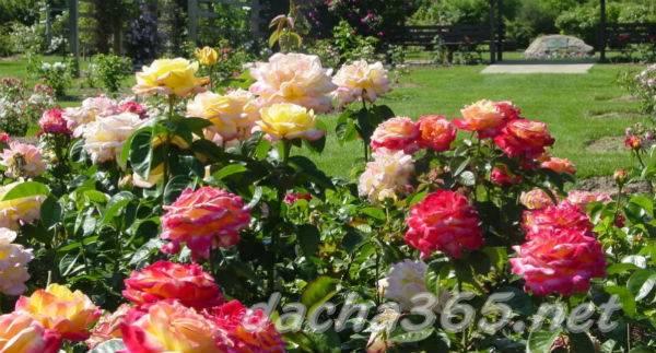 Уход за розами весной в открытом грунте после зимы: основные весенние мероприятия