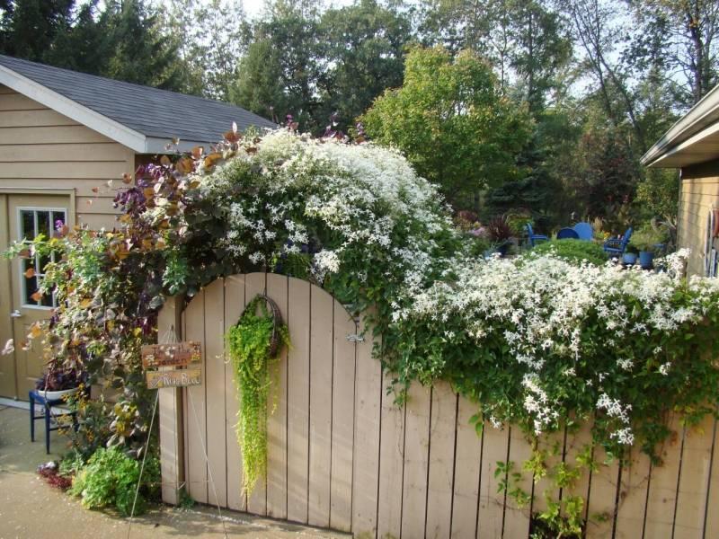 Дурман на садовом участке: как получить красивые цветы
