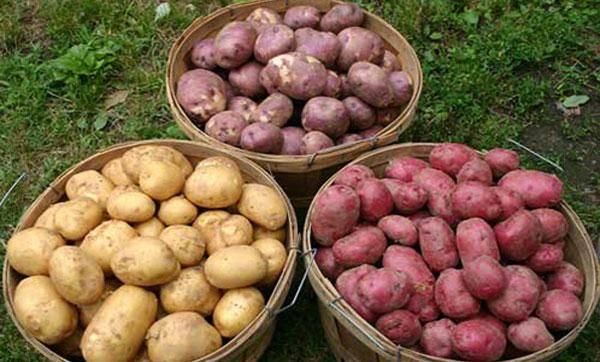 Сроки созревания картофеля