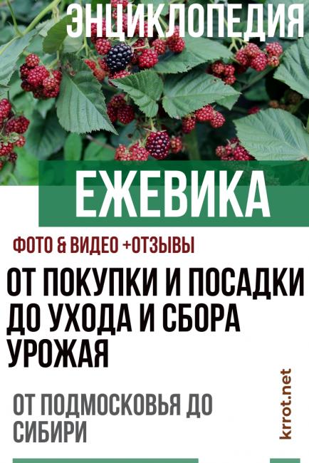 Ежевика — 20 лучших сортов с описанием и фото