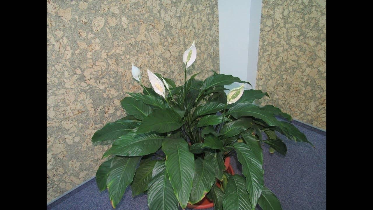 Особенности спатифиллума и уход за растением в домашних условиях