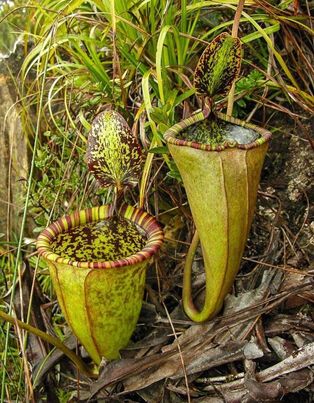 Виды хищных растений