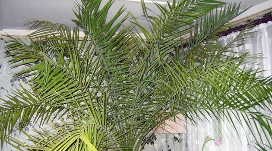 Банановая пальма: как вырастить экзотическое растение в домашних условиях?
