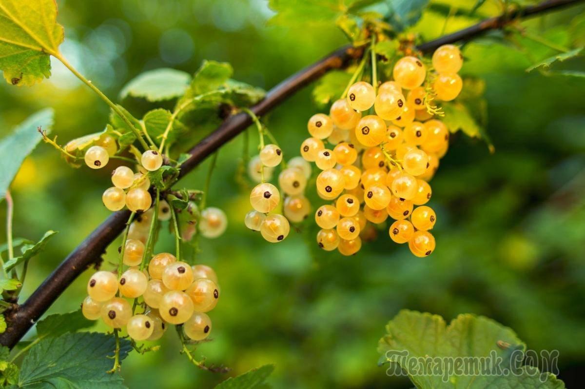 Лучшие сорта золотистой смородины с агротехническими правилами