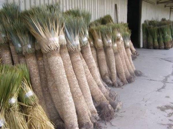 Полезные свойства юкки. корень юкки: полезные свойства пищевой добавки