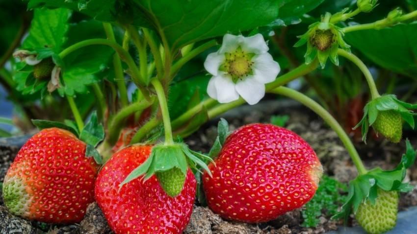 Клубника: выращивание, посадка и уход
