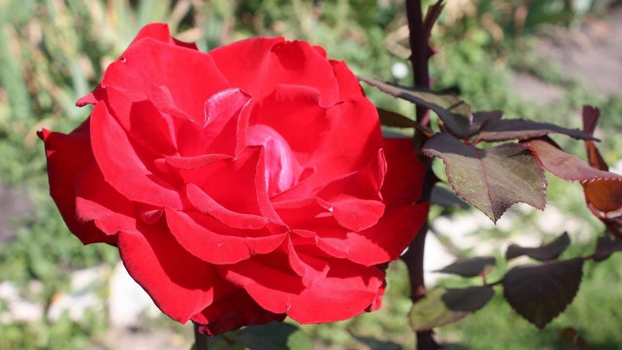 Как правильно укрыть розы на зиму: лучшие варианты укрытия