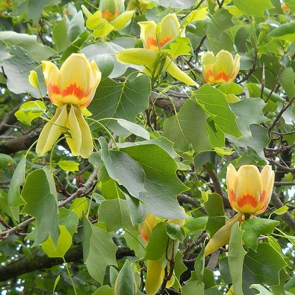 Размножение тюльпанного дерева отводками, черенками и семенами