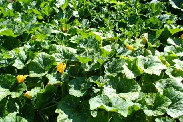 Особенности выращивания тыквы на урале: рассадный и прямой способ посева